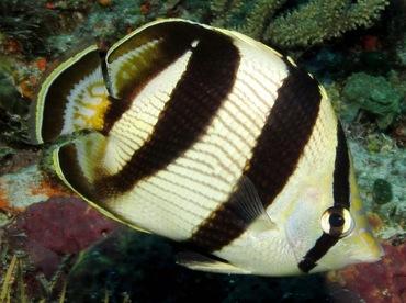 butterflyfish-sosua