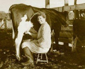 milkingcow-300×242